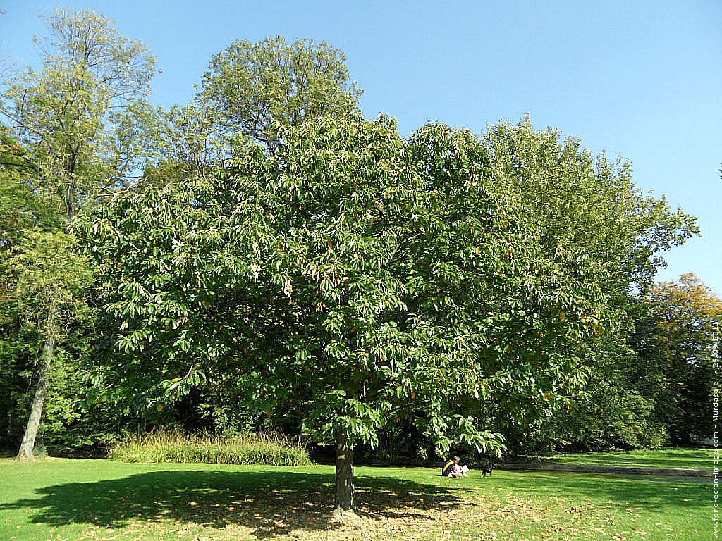 Bois de Chataignier
